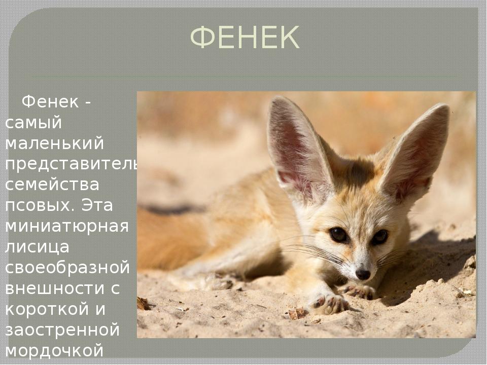 ФЕНЕК Фенек - самый маленький представитель семейства псовых. Эта миниатюрная...
