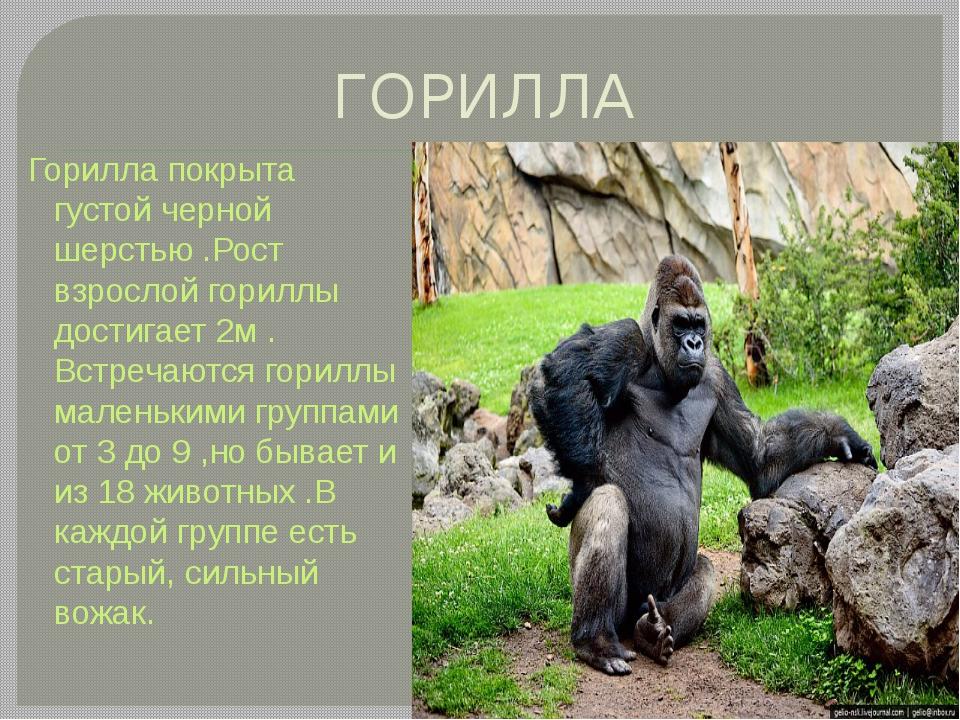 ГОРИЛЛА Горилла покрыта густой черной шерстью .Рост взрослой гориллы достигае...