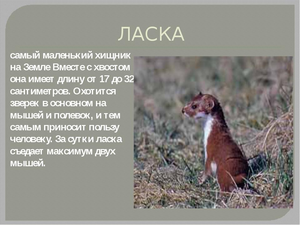 ЛАСКА самый маленький хищник на Земле Вместе с хвостом она имеет длину от 17...