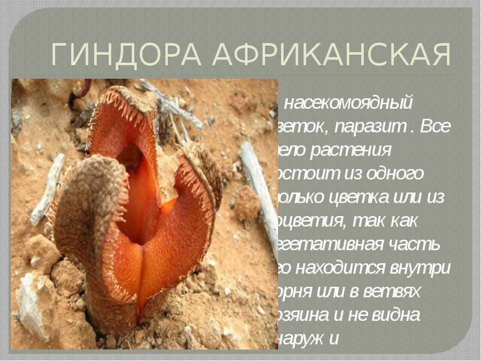 ГИНДОРА АФРИКАНСКАЯ насекомоядный цветок, паразит . Все тело растения состоит...