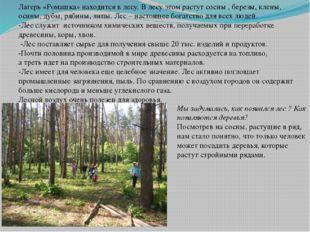 Лагерь «Ромашка» находится в лесу. В лесу этом растут сосны , березы, клены,