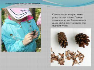 Семена сосны находятся в шишках. Семена легкие, ветер их может разнести куда