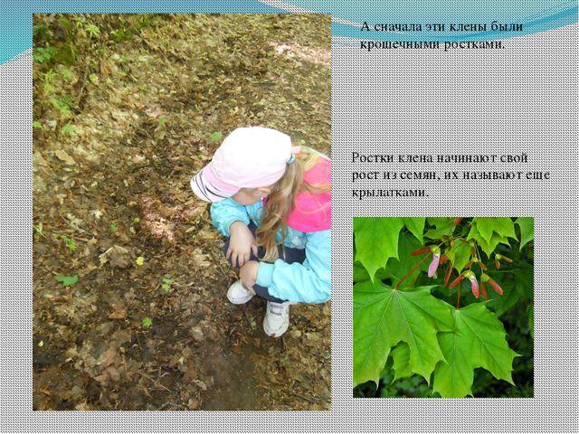 А сначала эти клены были крошечными ростками. Ростки клена начинают свой рост...