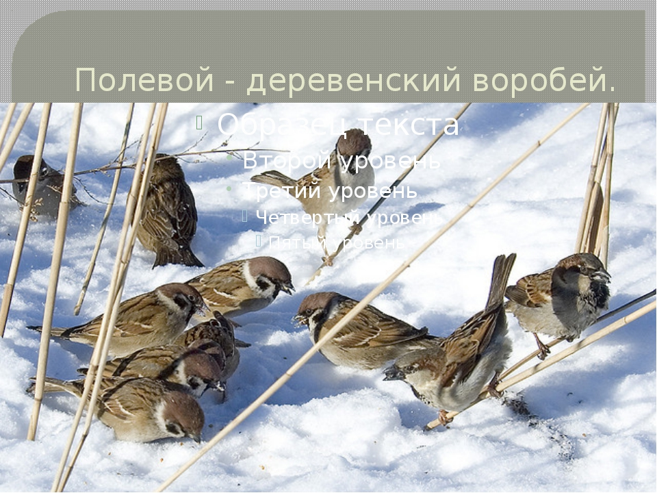 Полевой - деревенский воробей.