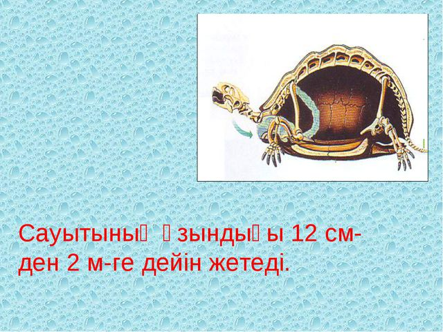 Сауытының ұзындығы 12 см-ден 2 м-ге дейін жетеді.