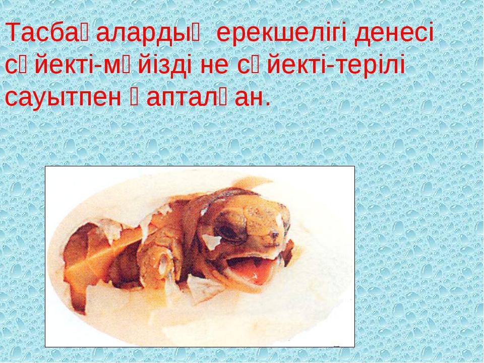 Тасбақалардың ерекшелігі денесі сүйекті-мүйізді не сүйекті-терілі сауытпен қа...