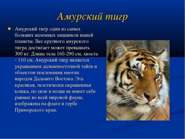 Амурский тигр Амурский тигр один из самых больших наземных хищников нашей пла...
