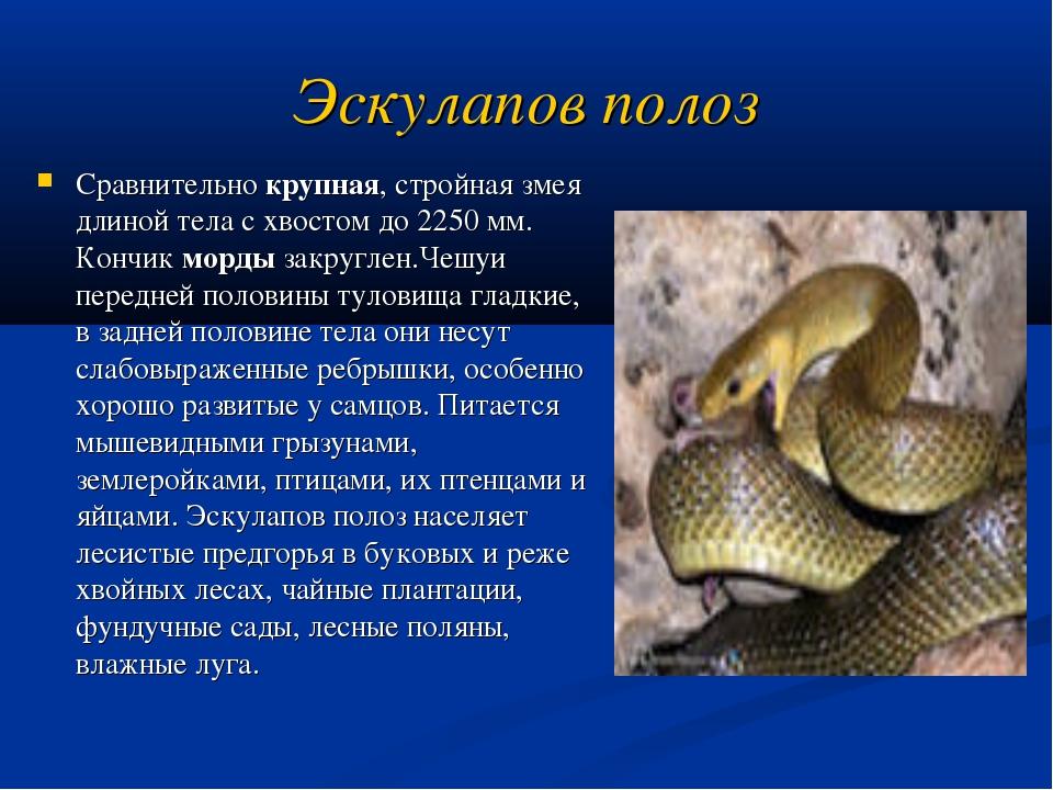 Эскулапов полоз Сравнительно крупная, стройная змея длиной тела с хвостом до...