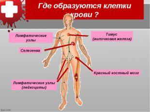 Где образуются клетки крови ? Селезенка Красный костный мозг Тимус (вилочкова