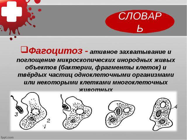 СЛОВАРЬ Фагоцитоз - ативное захватывание и поглощение микроскопических инород...