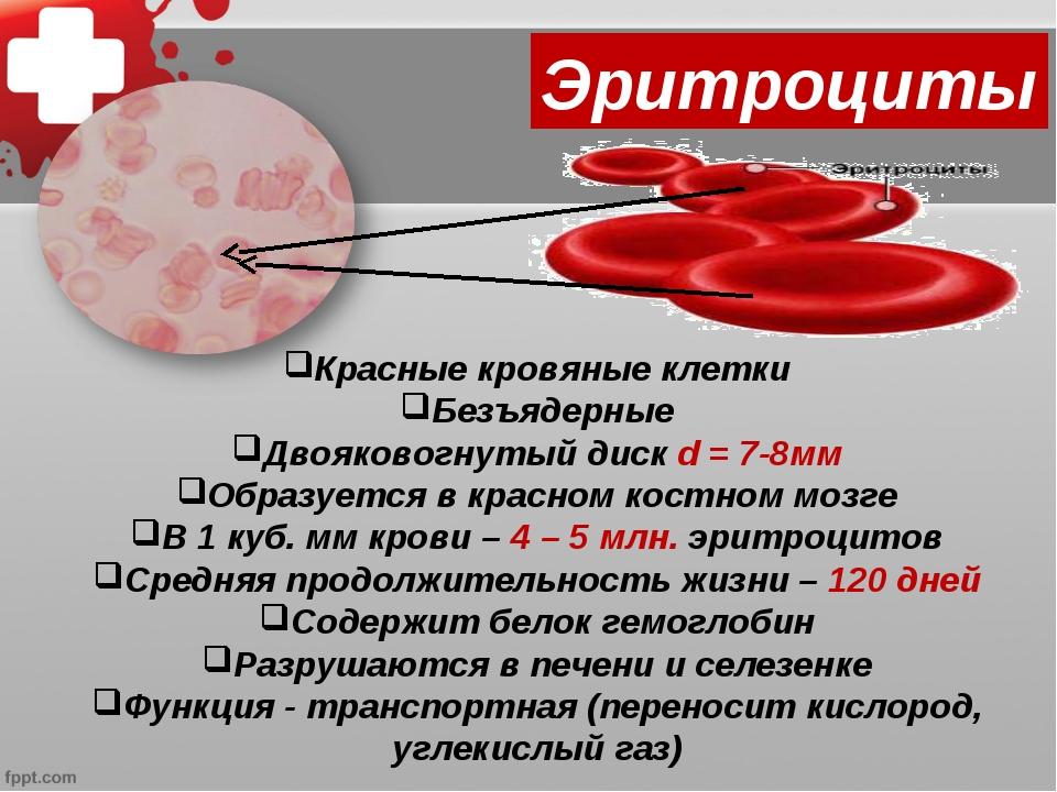Красные кровяные клетки Безъядерные Двояковогнутый диск d = 7-8мм Образуется...