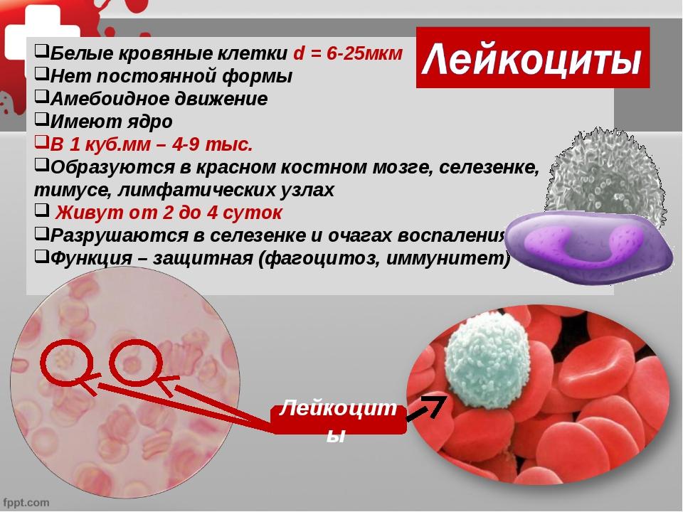 Лейкоциты 1500х Белые кровяные клетки d = 6-25мкм Нет постоянной формы Амебои...