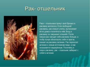 Рак- отшельник Раки – отшельники прячут своё брюшко в раковину моллюска. Если