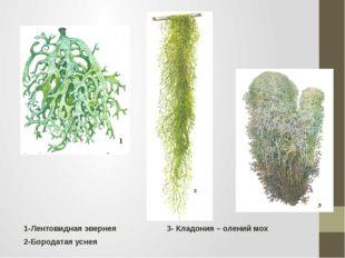 1-Лентовидная эвернея 3- Кладония – олений мох 2-Бородатая уснея