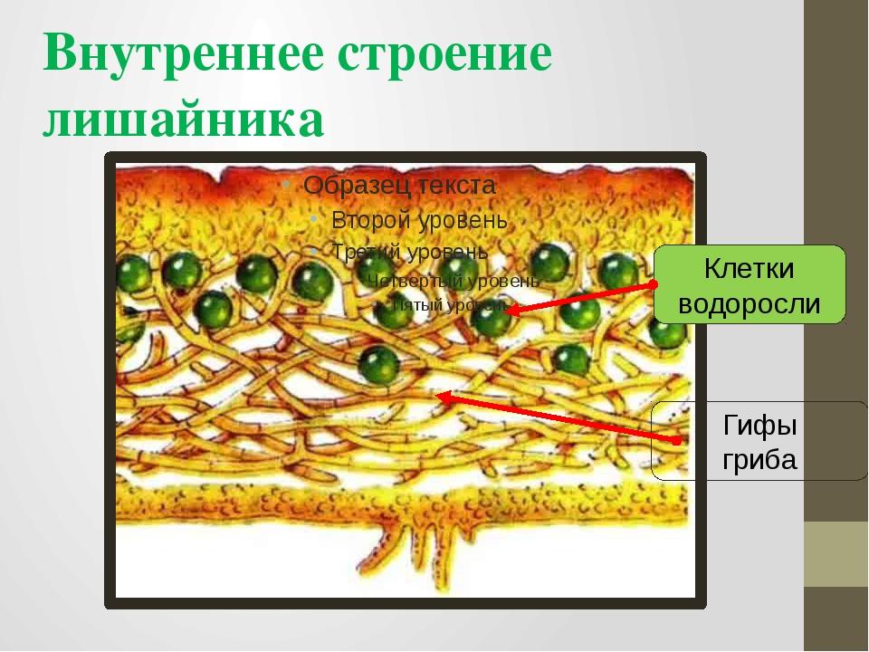 Внутреннее строение лишайника Гифы гриба Клетки водоросли