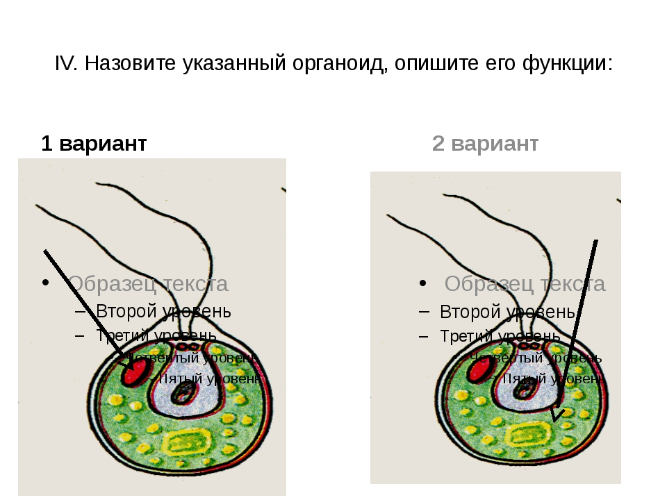 IV. Назовите указанный органоид, опишите его функции: 1 вариант 2 вариант