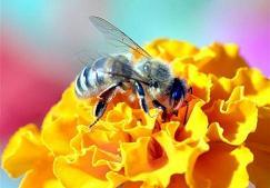 Пчела на цветке 2