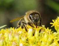 C:\Documents and Settings\Admin\Рабочий стол\Картинки для работы Мёд\мёд\Пчела собирающая нектар.jpg