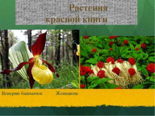 Растения красной книги Венерин башмачок Женьшень