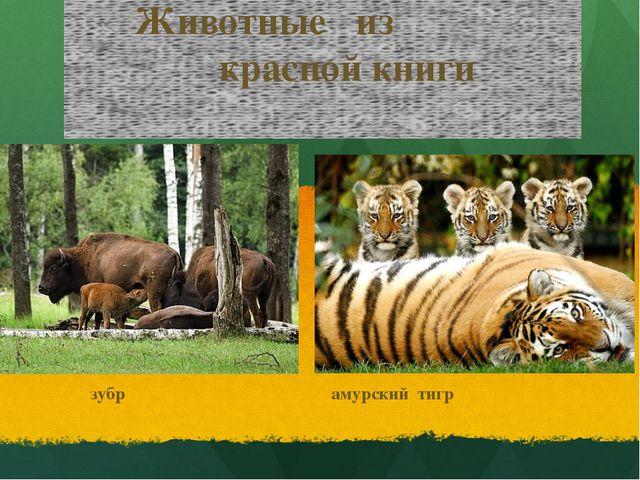 Животные из красной книги зубр амурский тигр