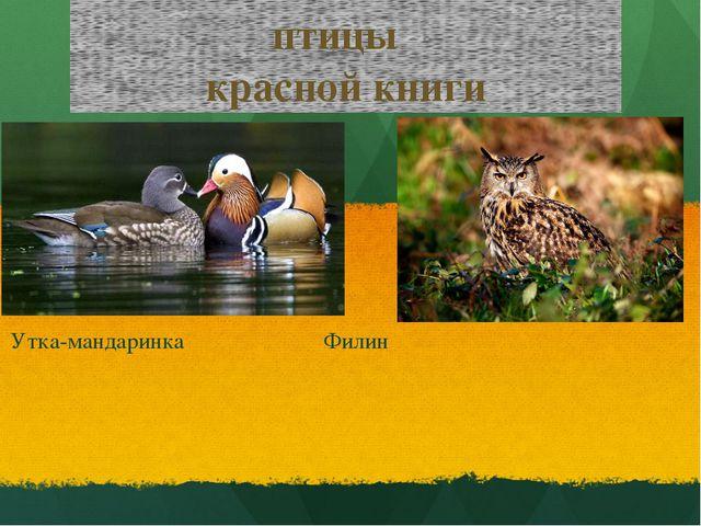 птицы красной книги Утка-мандаринка Филин