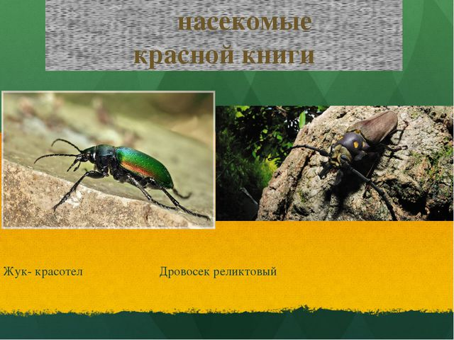 насекомые красной книги Жук- красотел Дровосек реликтовый