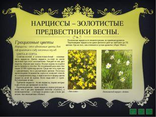 НАРЦИССЫ – ЗОЛОТИСТЫЕ ПРЕДВЕСТНИКИ ВЕСНЫ. Грациозные цветы Нарциссы - это иде