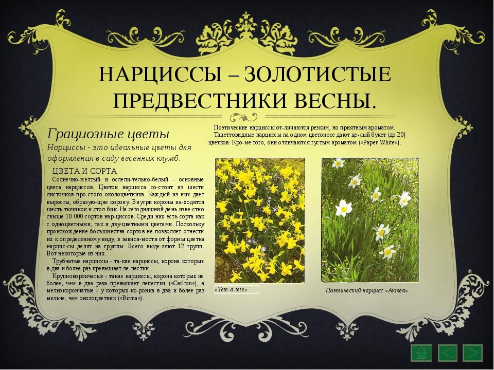 НАРЦИССЫ – ЗОЛОТИСТЫЕ ПРЕДВЕСТНИКИ ВЕСНЫ. Грациозные цветы Нарциссы - это иде...