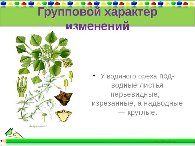 Групповой характер изменений У водяного ореха подводные листья перьевидные,...