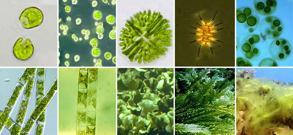Зелёные водоросли. Верхний ряд, слева направо: хламидомонада, хлорелла, микрастериас, сценедесмус двуформенный, вольвокс. Нижний ряд, слева направо: спирогира, улотрикс, ульва, каулерпа, кладофора