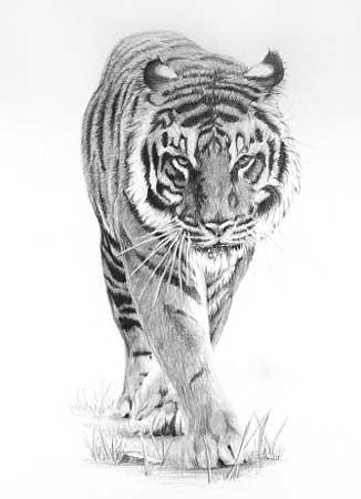 C:\Users\Оля\Desktop\годовой отчет\открытый урок пятница\Prowling_Tiger_by_peterrrrrrrrrrrrrrrr.jpg