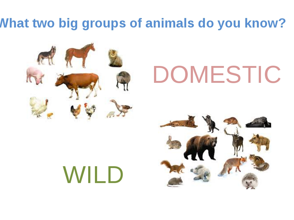 What two big groups of animals do you know? DOMESTIC WILD