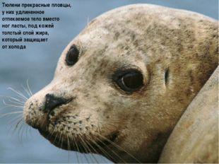 Тюлени прекрасные пловцы, у них удлиненное отпекаемое тело вместо ног ласты,