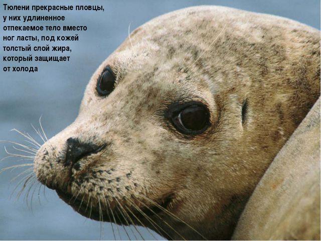 Тюлени прекрасные пловцы, у них удлиненное отпекаемое тело вместо ног ласты,...