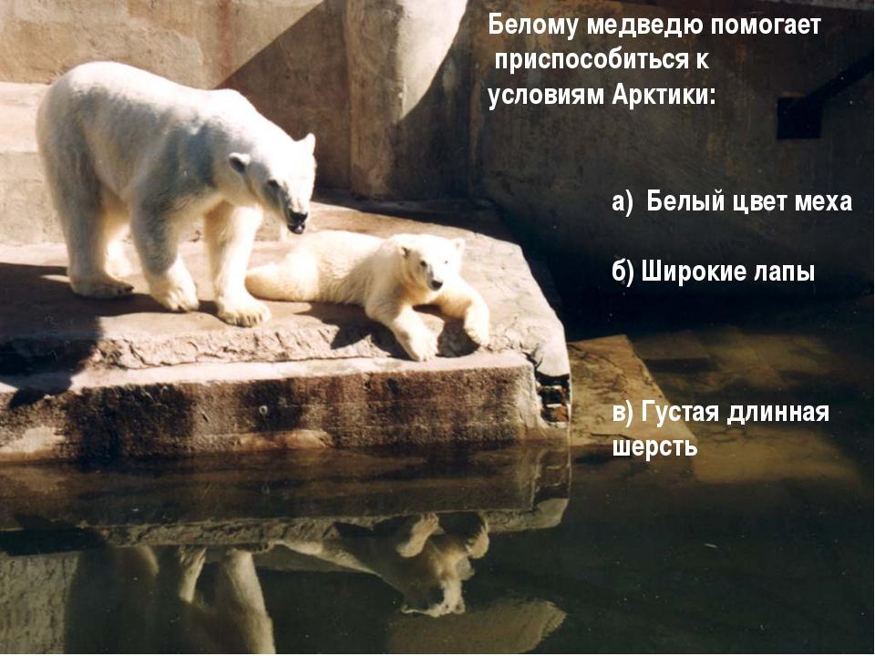 а) Белый цвет меха б) Широкие лапы в) Густая длинная шерсть Белому медведю п...