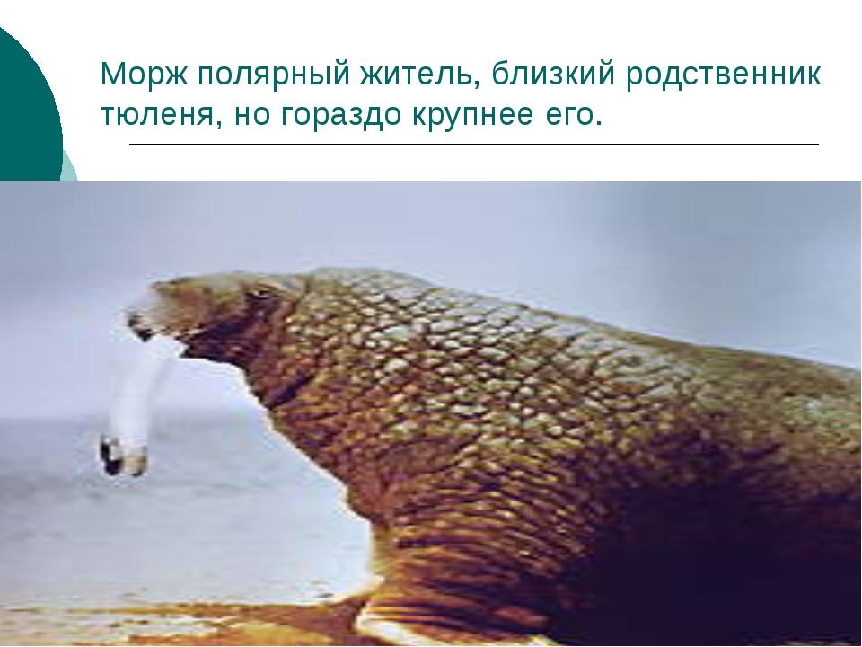 Морж полярный житель, близкий родственник тюленя, но гораздо крупнее его.