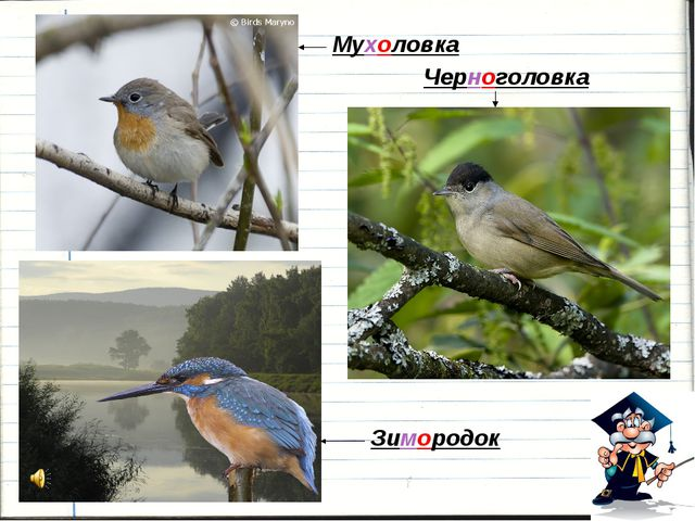 Мухоловка Черноголовка Зимородок