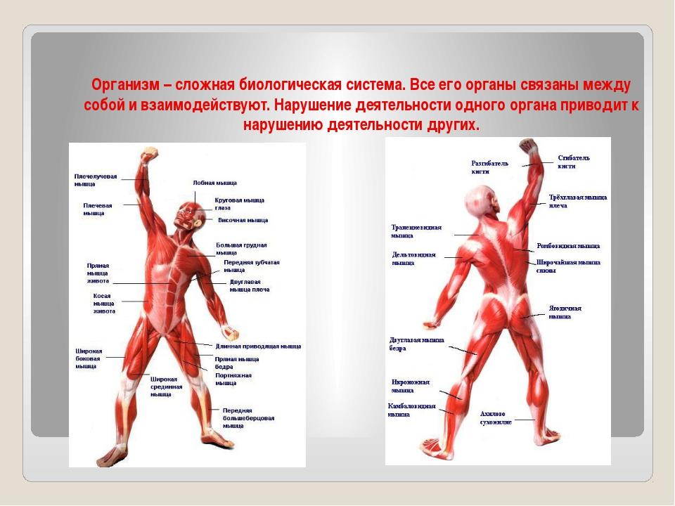 Организм – сложная биологическая система. Все его органы связаны между собой...