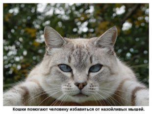 Кошки помогают человеку избавиться от назойливых мышей.