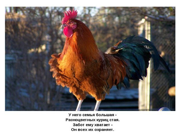 У него семья большая - Разноцветных куриц стая. Забот ему хватает - Он всех...