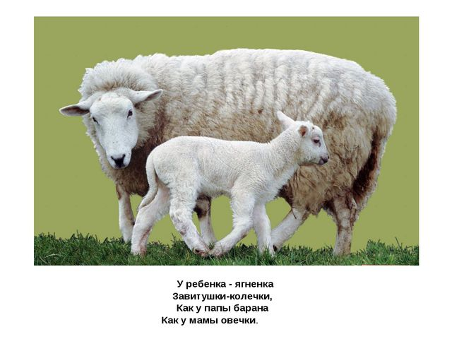 У ребенка - ягненка Завитушки-колечки, Как у папы барана Как у мамыовечки.