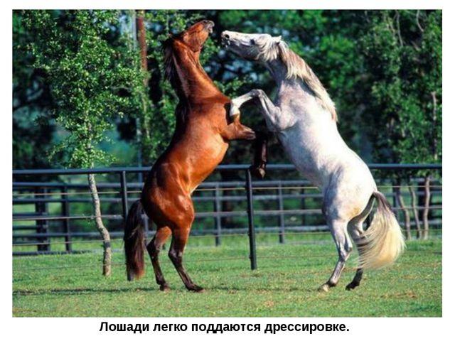 Лошади легко поддаются дрессировке.