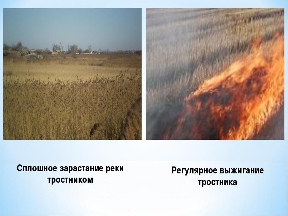 Сплошное зарастание реки тростником Регулярное выжигание тростника