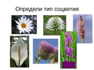 Определи тип соцветия Ятрышник болотный