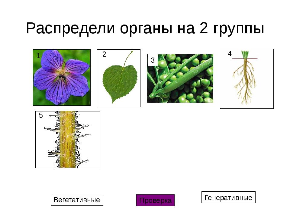 Распредели органы на 2 группы Вегетативные Генеративные Проверка 1 2 3 4 5