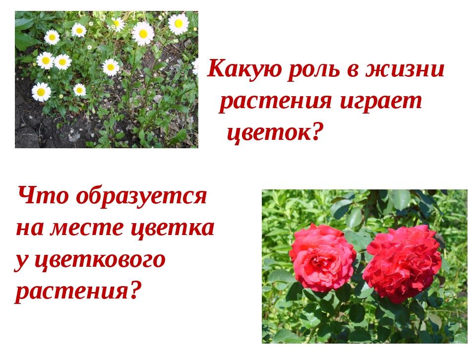 Какую роль в жизни растения играет цветок? Что образуется на месте цветка у...