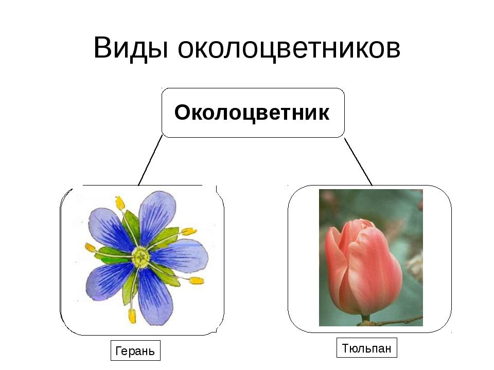 Виды околоцветников Герань Тюльпан Околоцветник