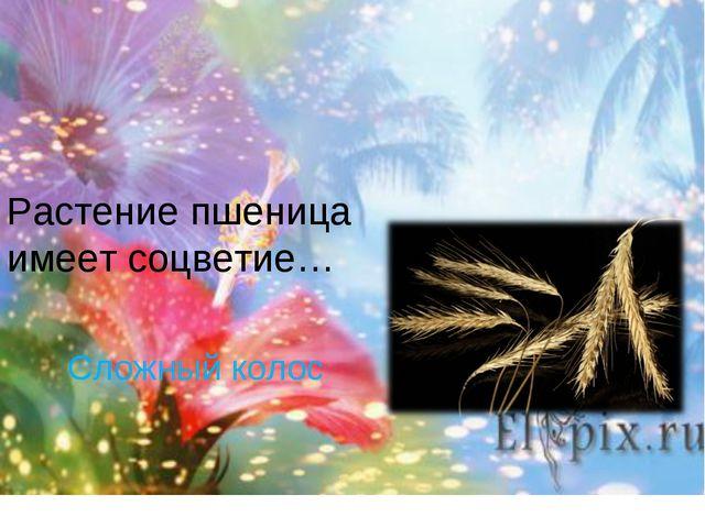 Сложный колос Растение пшеница имеет соцветие…