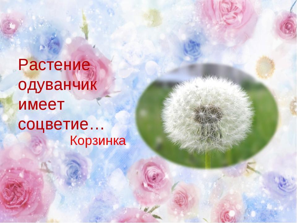 Растение одуванчик имеет соцветие… Корзинка