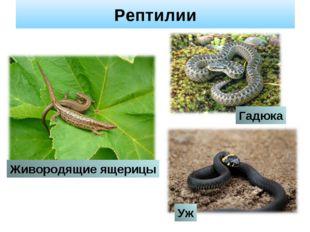 Рептилии Уж Гадюка Живородящие ящерицы